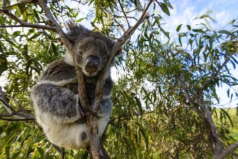 Australia, Koala - TOVF000025