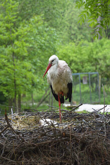 Portrait of a stork standing on one leg in his nest - AXF000768