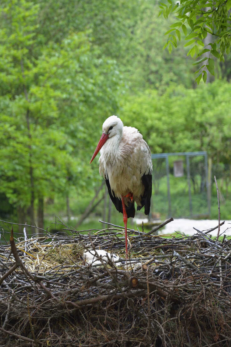 Portrait of a stork standing on one leg in his nest - AXF000768 - Axel Ganguin/Westend61