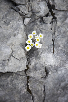 Austria, Wilder Kaiser, little flowers growing out of a rock - TKF000412