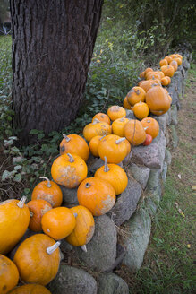 Row of pumpkins on a  stone wall - TKF000418