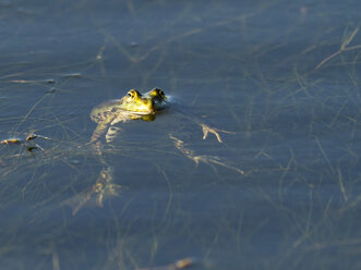 Pool frog, Pelophylax esculentus, on water surface - ZCF000308