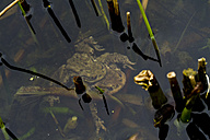 European toads, Bufo bufo, mating in water - ZCF000309