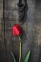 Red tulip on wood, pruner, flower head, cut - ASF005685