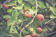 Twigs with apples in autumn - ASCF000384