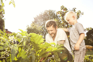 Father and his little son harvesting courgettes - MFRF000437