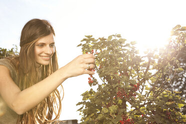 Smiling woman harvesting red currants - MFRF000440