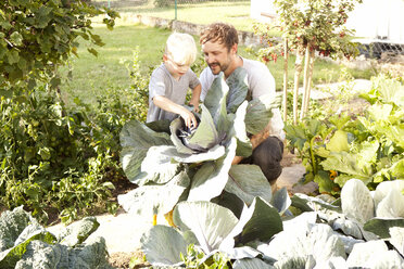 Father and his little son harvesting red cabbage - MFRF000442