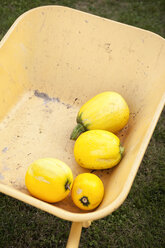 Four yellow courgette lying in a wheelbarrow - MFRF000448