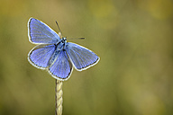 Common blue hanging on a spike - MJOF001076