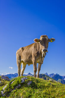 Germany, Allgaeu, young brown cattle standing on an Alpine meadow near Oberstdorf - WGF000719