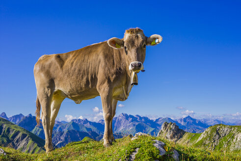 Germany, Allgaeu, young brown cattle standing on an Alpine meadow near Oberstdorf - WGF000718