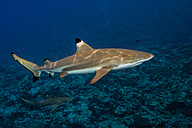 Blacktip Reefshark, Carcharhinus melanopterus - TOVF000027