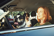 Portrait of French bulldog sitting behind steering wheel in the car of owner - TAM000309