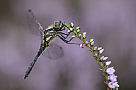 Black darter hanging on blossoming plant - MJOF001089