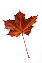 Autumnal maple leaf in front of white ground - CSF026377