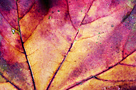 Autumnal maple leaf, close-up - CSF026386