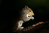 Eating Grey Squirrel in front of black background - MJOF001092