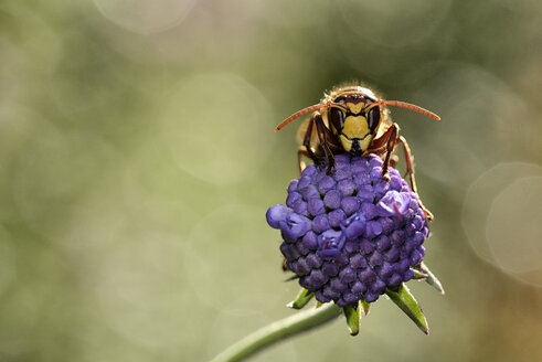 European hornet on a blossom - MJOF001095