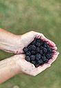 Woman's hands holding blackberries - MGOF000770