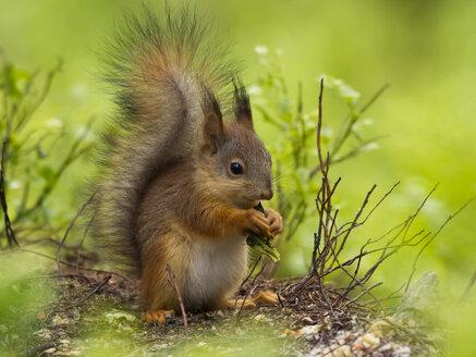 Finland, Red squirrel, Sciurus vulgaris, eating - ZC000319