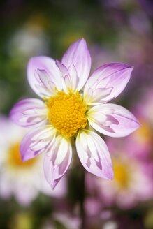 Dahlia blossom - ELF001588