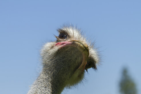 African ostrich, Struthio camelus - ZCF000322