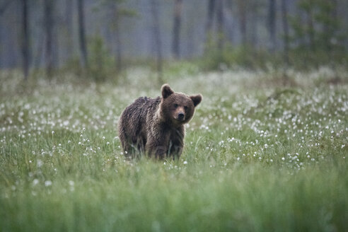 Finland, Kuhmo, brown bear at Kainuu - ZC000324