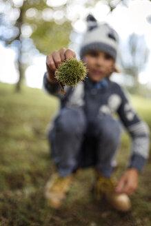 Boy's hand holding sweet chestnut - MGOF000783