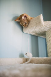 Tabby kitten lying on scratching post watching cat toy - RAEF000503