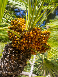 Canary Island Date Palm, Phoenix canariensis, with fruits - AMF004263