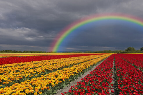 Netherlands, Keukenhof, view to rainbow at cloudy sky with tulip fields in the foreground - KLRF000201