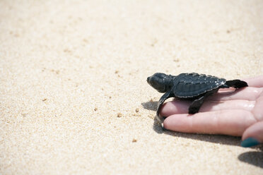 Sri Lanka, Sea Turtle in hand on beach - NNF000238