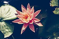 Pink Water Lily in a pond - GEMF000437