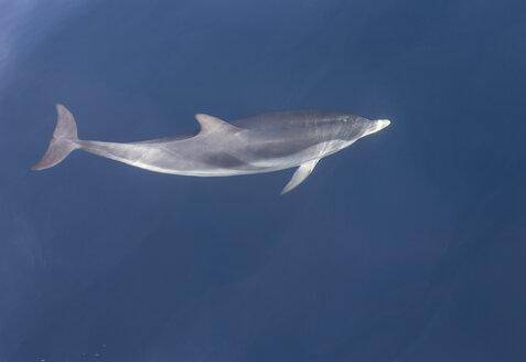 Striped dolphin, Stenella coeruleoalba - KBF000341