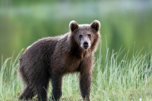 Finland, Kuhmo, brown bear - ZC000343