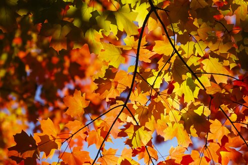 Maple, autumn leaves - JTF000707