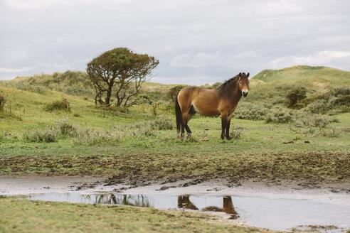 Netherlands, Bergen aan Zee, Horse standing in dunes - MADF000583