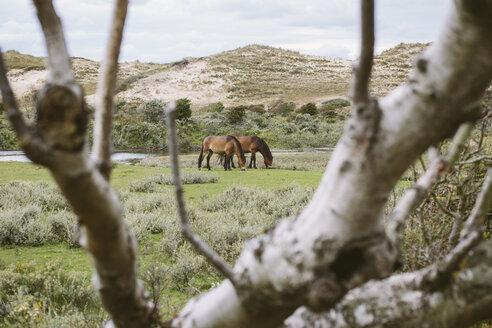 Netherlands, Bergen aan Zee, Horses grazing in dunes - MADF000586