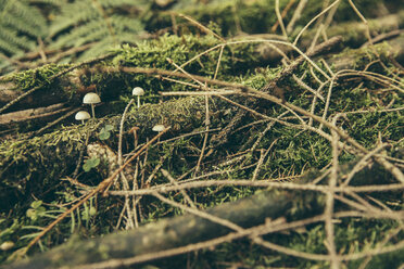 Tiny inedible mushrooms growing between twigs and moss in coniferous forest - MFF002426