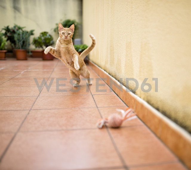 Ginger kitten playing on terrace with toy - RAEF000561