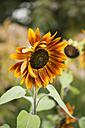 Sunflower, Helianthus annuus - MYF001170