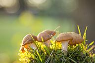 Mushrooms on a meadow, close-up - SARF002236