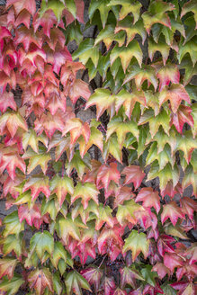 Autumn leaves of Virginia creeper - ASCF000398