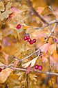 Whitethorn with red berries and autumn leaves - CZF000226