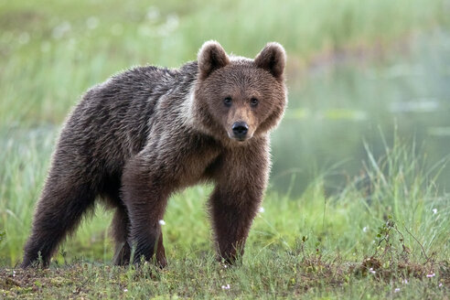 Finland, Kuhmo, brown bear standing on a meadow - ZC000349