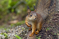 Portrait of a squirrel - ZCF000352