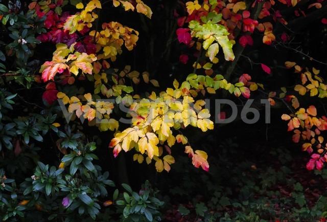 Autumn colours of a bush - JTF000711 - Thomas Jäger/Westend61