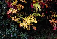 Autumn colours of a bush - JTF000711