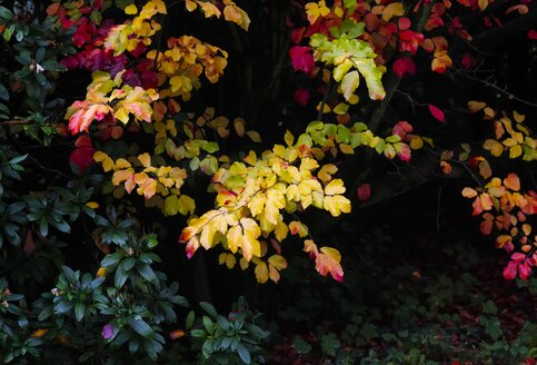 Autumn colours of a bush - JTF000711